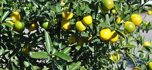 Los cítricos son una de las frutas más consumidas del mundo