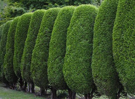 Árboles y arbustos ornamentales, la decoración más divertida