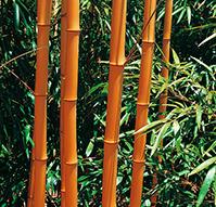 Phyllostachys vivax Aureocaulis
