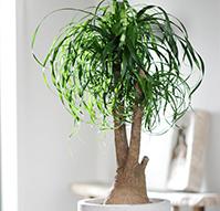 beaucarnea - Plantas Verdes De Interior