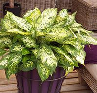 dieffenbachia - Plantas Verdes De Interior