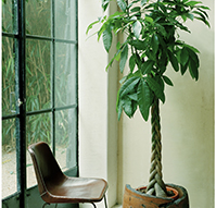 pachira - Plantas Verdes De Interior