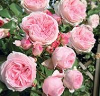 rosas jardiland