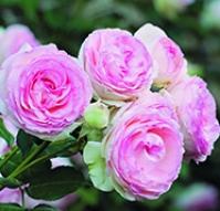 ROSAL MARY ROSE