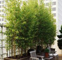 Bambú dorado