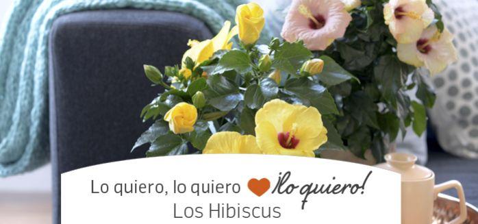 PLANTA HISBISCUS
