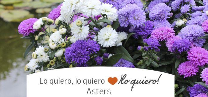ASTERS, LA FLOR ESTRELLA