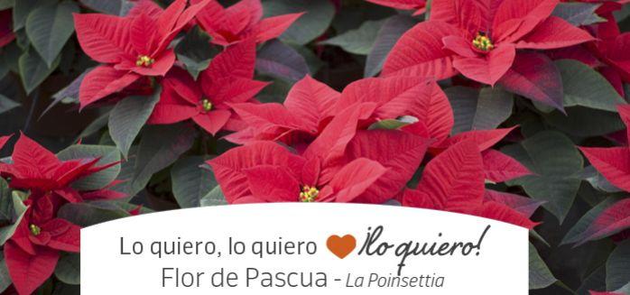 FLOR DE PASCUA, POINSETTIA