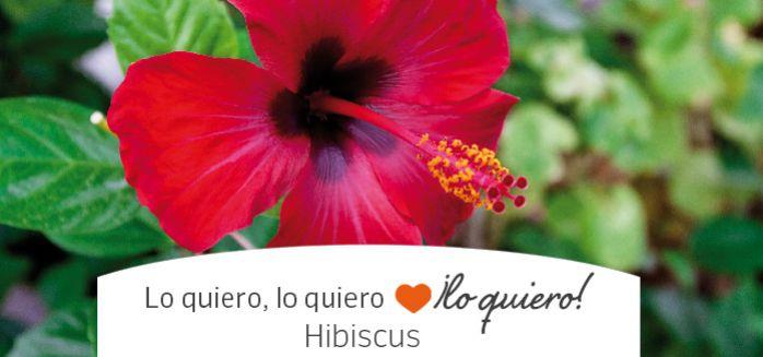 Conoce las especies de hibiscus
