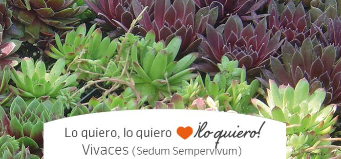 VIvaces Sempervivum