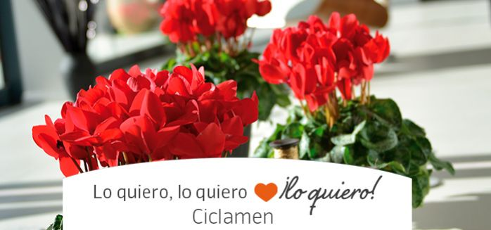 ciclamenes